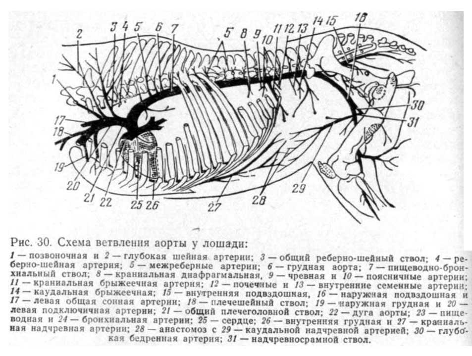 Задняя брыжеечная артерия