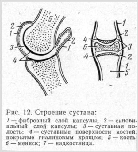 Строение суставов животных воспаление связок в районе коленного сустава
