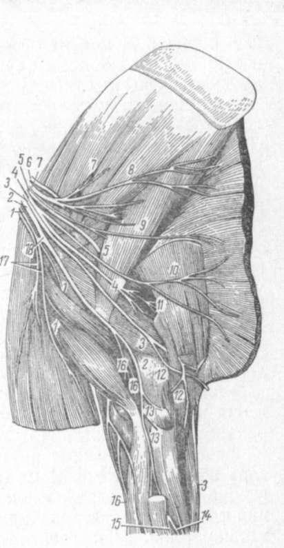 схема нервного плечевого сплечения у лошади