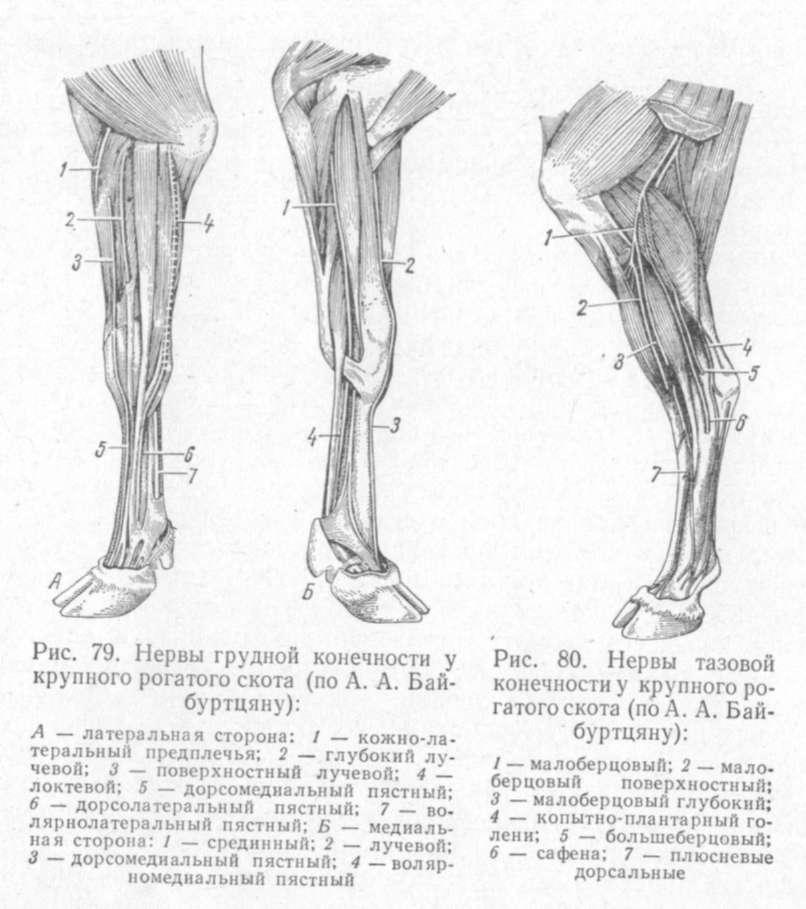 Суставы передней конечности коровы фирмы выпускающие имплантаты тазобедренных суставов