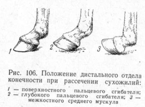 Воспаление копытного и венечного сустава у крс боли в коленном суставе после эндопротезирования