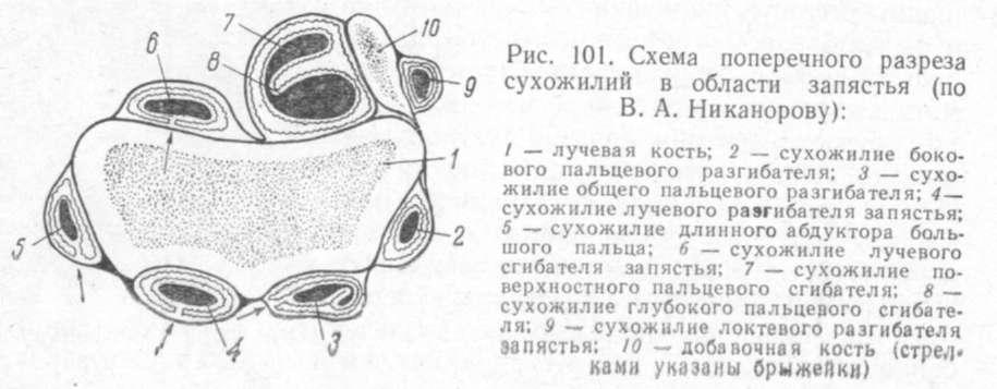 схема поперечного разреза сухожилий