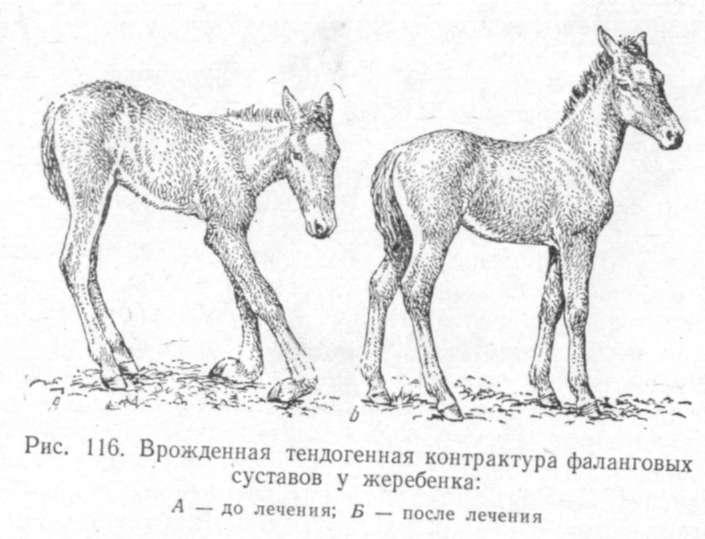 Лошадь подвывих путово-венечного сустава ноющая боль в суставе тазобедренном