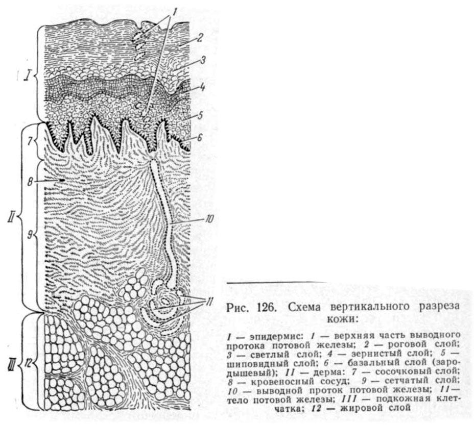 схема вертикального разреза кожи