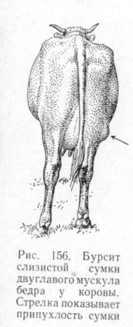 В области коленного сустава у животных располагаются подкожная...