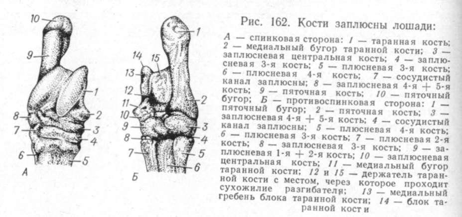 Хроническое воспаление суставов ног у лошадей колено болит при спуске с лестницы