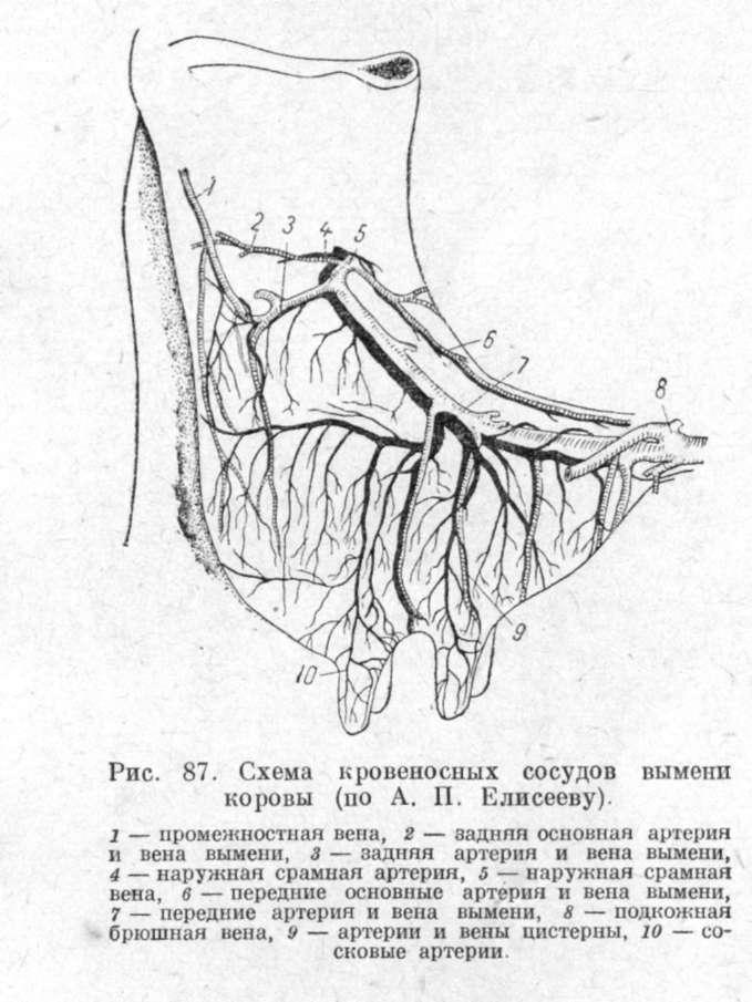 схема кровеносных сосудов