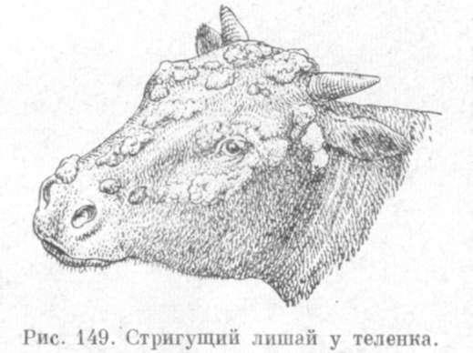 кожные заболевания у коров фото и лечение