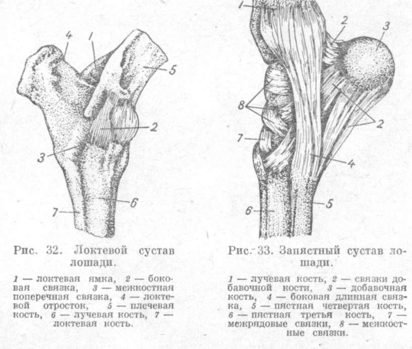 Анатомия сустава животного воспаление коленных суставов симптомы