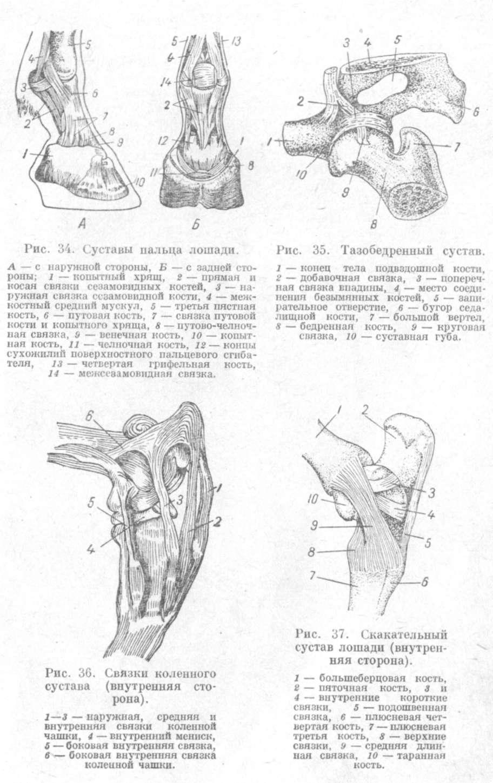 Суставы крс двухполюсное эндопротезирование тазобедренного сустава